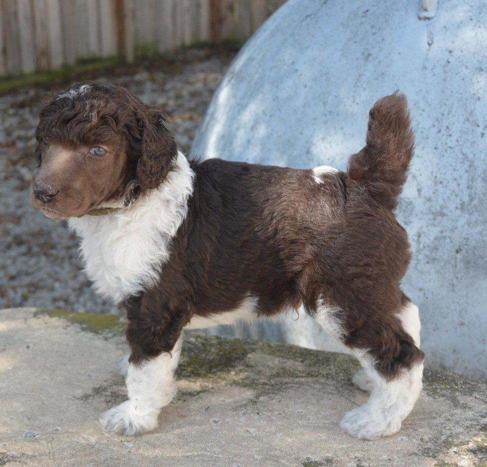 brown-collar-boy-4-weeks